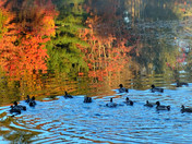 Ducks in Arlington  Lake