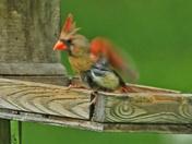 F  cardinal