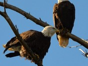 Bald eagles in Rochester