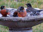 Robin community taking a bath