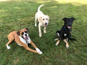 Gunner (Boxer) and his buddies Lemon (Lab) and BRST budddy Logan (Shepard mix)