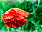 Poppy In The Rain