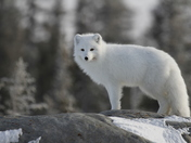 Arctic fox ready for the next hunt while standing on a rock