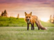 1c. Red fox