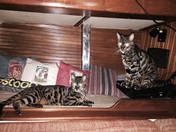 Sailing Kitties