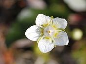 Close-up of Grass of Parnassus flower or Bog-star flower