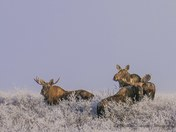 Three Moose in the frost - 1140239