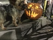 A Yorkie Halloween!!!🐶🎃💀