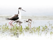 3b. Black neck stilt