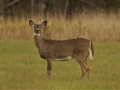 Fall Deer