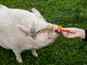 Feeding Pet Pot Bellied Pig