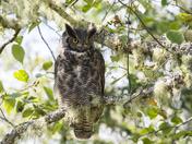 Coastal Great Horned Owl