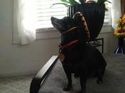 My Mighty Chihuahua warrior