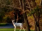 Albino buck pics taken on October  25th, 2017