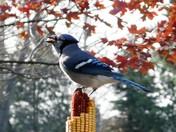 Blue Jay Loving Ear Corn Feeder