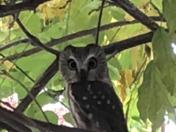 Saw Whit Owl