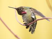 Anna's Hummingbird (6330)
