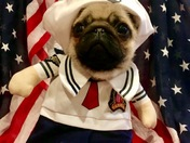 Pumpkin the Pug salutes our veterans! Anchors Aweigh!