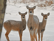White-Tailed Deer Family