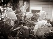 Frozen Roses