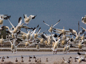 Snow Geese are back in Town