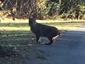 Large Cat Spotted North Salem