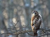 Hawk in a Perch