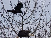 Crow fighting with bald eagle