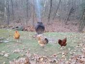 Chickens enjoying fall