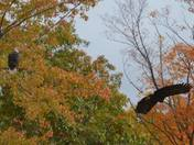 Bald eagles Saco River