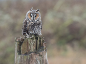 Long Eared Owl on a stump