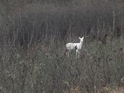 November 18 2017 Albino deer
