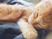 Lynx the baby kitten