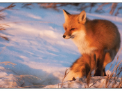 Vulpes under sunset