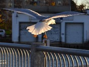 The City Gull