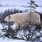 Polar Bear in the Pine Tree Scrub