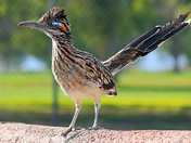 Roadrunner On Patrol