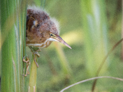 Least Bittern Fledgling Chick