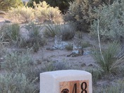 Captured a pair of bobcats in Placitas