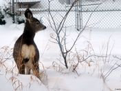 young mulie in the snow