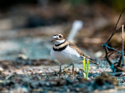 Killdeer on the beach