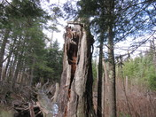 Rotted tree