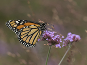 Monarch butterfly in autumn