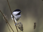 Chickadee making a quick stop