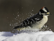 Woodpecker playing in the snow