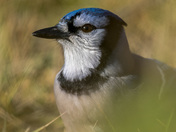 Foraging Blue Jay
