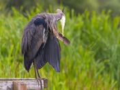 Preening Heron