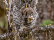 Great Grey Owl with Prey