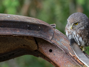 Unique Northern Pygmy Owl