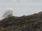Snowy Owl snoozing on the NH seacoast.